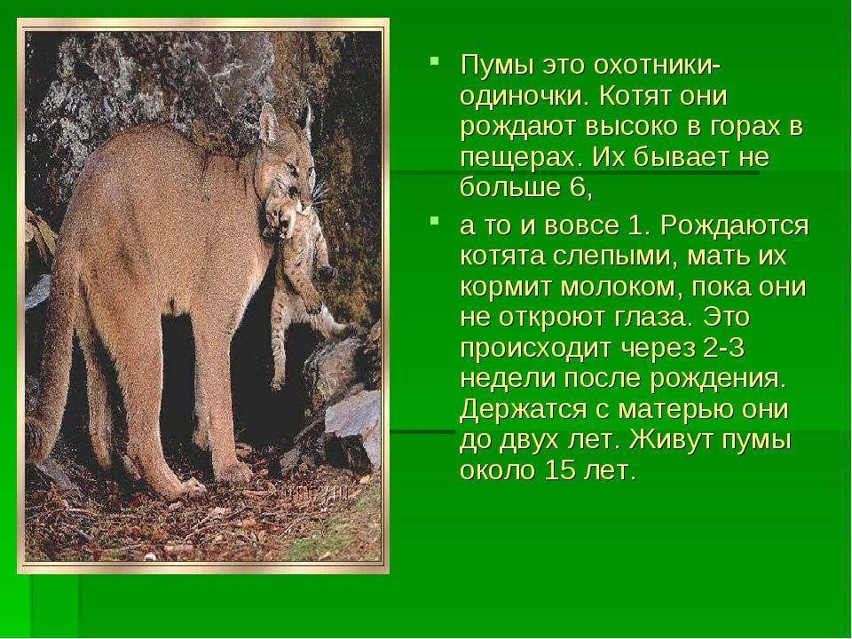 Пумы это охотники-одиночки. Котят они рождают высоко в горах в пещерах. Их бы...