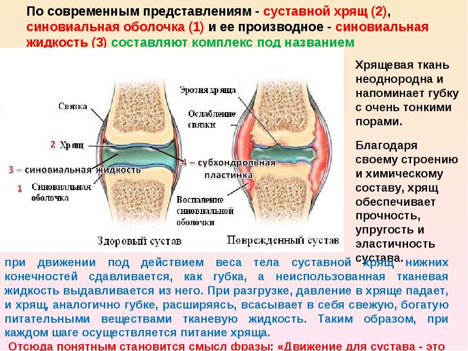 По современным представлениям - суставной хрящ (2), синовиальная оболочка (1)...