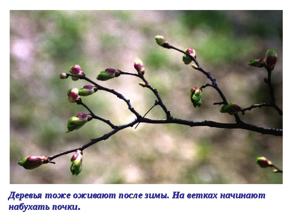 Деревья тоже оживают после зимы. На ветках начинают набухать почки.