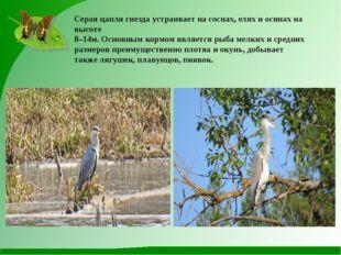 Серая цапля гнезда устраивает на соснах, елях и осинах на высоте 8–14м. Основ