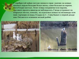 У серебристой чайки светлая сизовато-серая мантия: на концах маховых перьев б