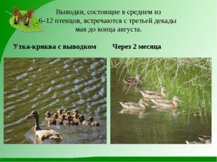 Выводки, состоящие в среднем из 6–12 птенцов, встречаются с третьей декады м