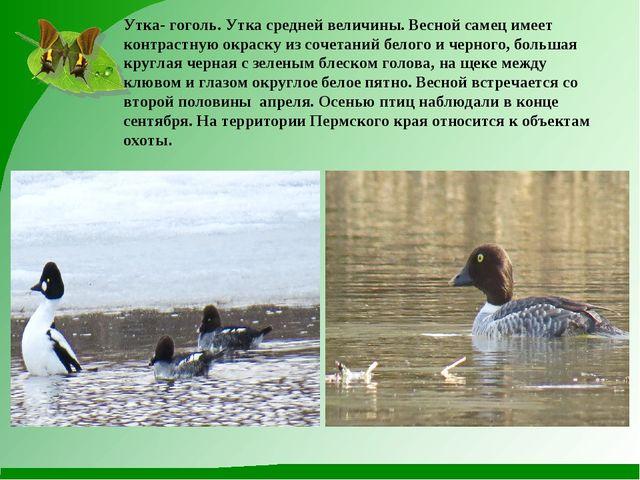 Утка- гоголь. Утка средней величины. Весной самец имеет контрастную окраску и...