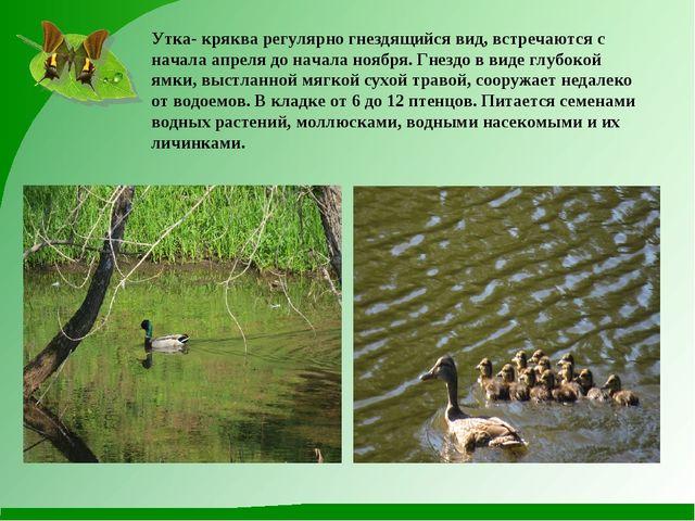 Утка- кряква регулярно гнездящийся вид, встречаются с начала апреля до начала...