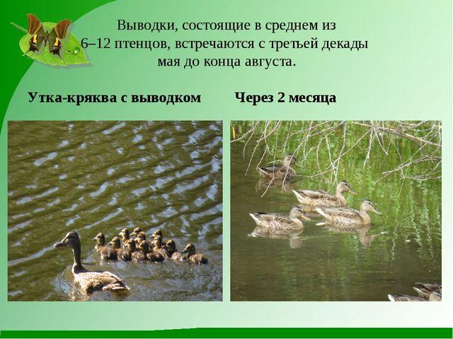 Выводки, состоящие в среднем из 6–12 птенцов, встречаются с третьей декады м...