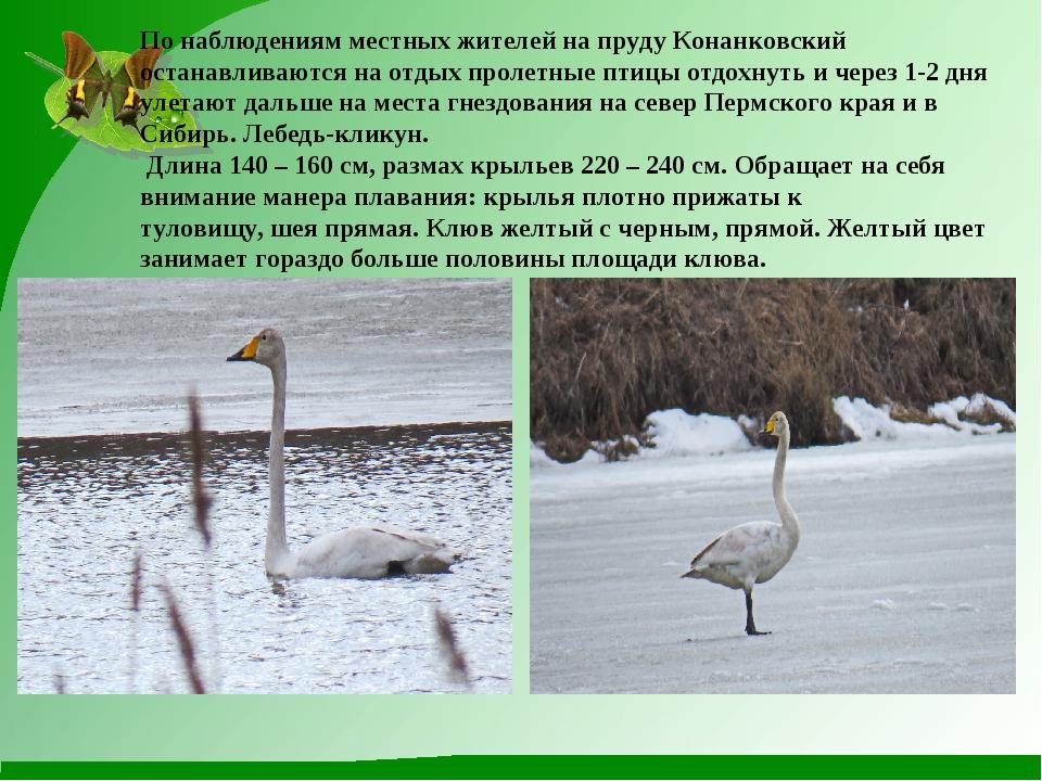 По наблюдениям местных жителей на пруду Конанковский останавливаются на отдых...