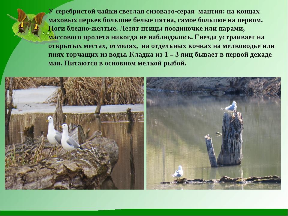 У серебристой чайки светлая сизовато-серая мантия: на концах маховых перьев б...