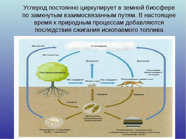 Углерод постоянно циркулирует в земной биосфере по замкнутым взаимосвязанным...