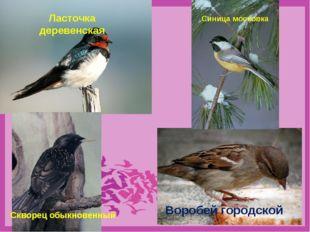 Воробей городской Ласточка деревенская Синица московка Скворец обыкновенный