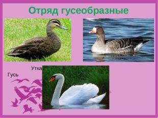 Отряд гусеобразные Утка Гусь Лебедь
