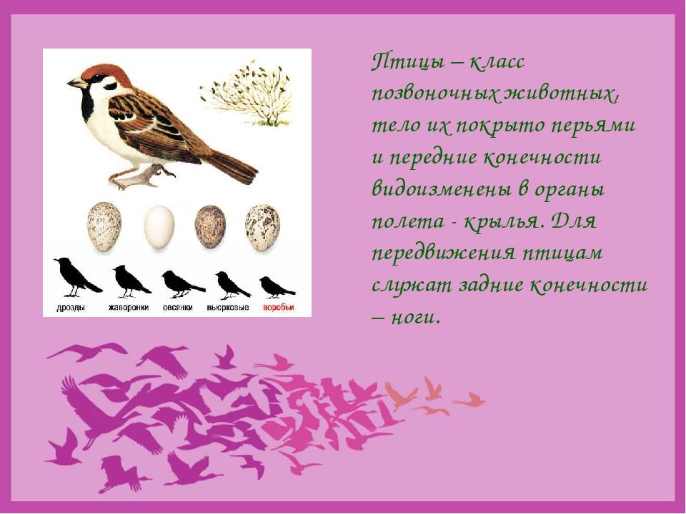 Птицы – класс позвоночных животных, тело их покрыто перьями и передние конеч...
