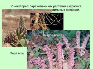 У некоторых паразитических растений (заразиха, петров крест) корни превратили