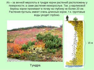 Из – за вечной мерзлоты в тундре корни растений расположены у поверхности, а