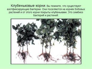 Клубеньковые корни. Вы помните, что существуют азотфиксирующие бактерии. Они