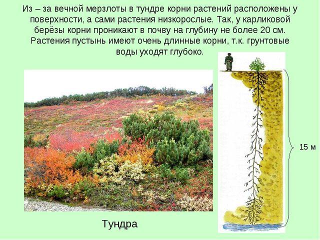 Из – за вечной мерзлоты в тундре корни растений расположены у поверхности, а...