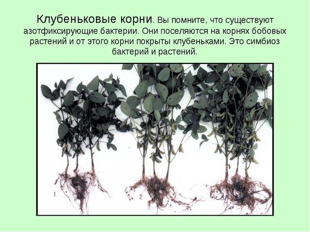 Клубеньковые корни. Вы помните, что существуют азотфиксирующие бактерии. Они...