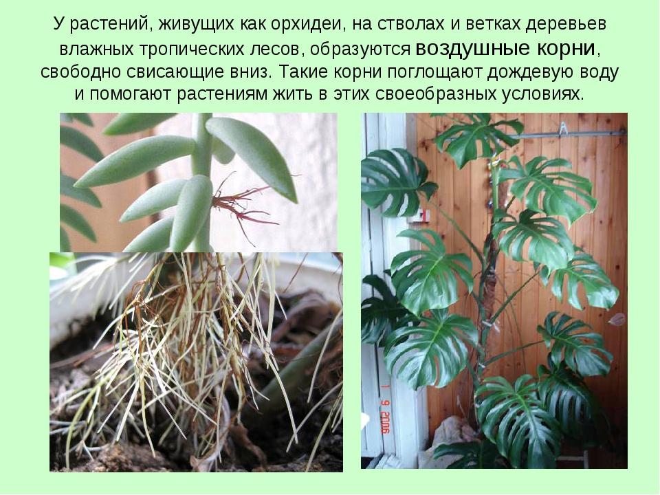 У растений, живущих как орхидеи, на стволах и ветках деревьев влажных тропиче...