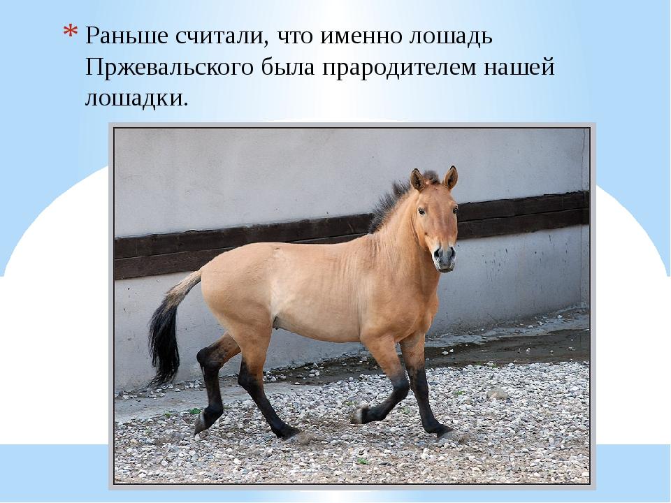 Раньше считали, что именно лошадь Пржевальского была прародителем нашей лошад...