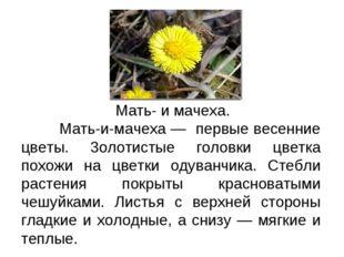 Текст-описание Мать- и мачеха. Мать-и-мачеха — первые весенние цветы. 3олотис
