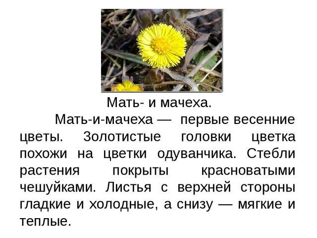 Текст-описание Мать- и мачеха. Мать-и-мачеха — первые весенние цветы. 3олотис...