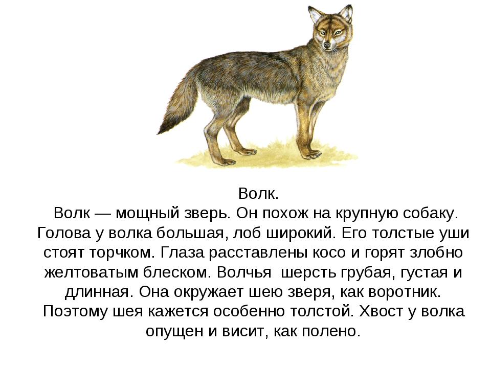 Волк. Волк — мощный зверь. Он похож на крупную собаку. Голова у волка больша...