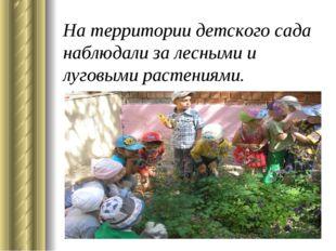 На территории детского сада наблюдали за лесными и луговыми растениями.