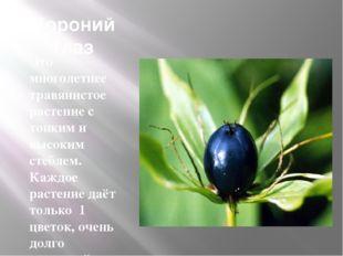 Вороний глаз Это многолетнее травянистое растение с тонким и высоким стеблем.