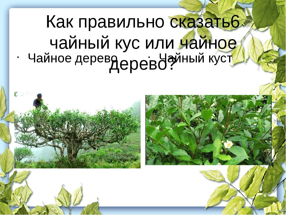Как правильно сказать6 чайный кус или чайное дерево? Чайное дерево Чайный куст