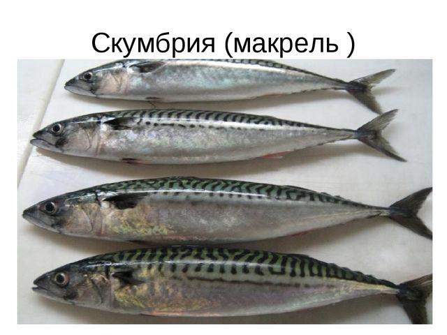 Скумбрия (макрель )