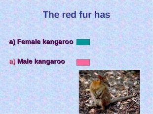 The red fur has a) Female kangaroo a) Male kangaroo