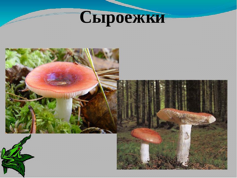 Жёлчный гриб