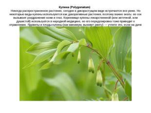 Купена (Polygonatum) Некогда распространенное растение, сегодня в дикорасту