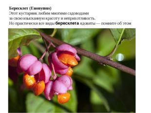 Бересклет (Euonymus) Этот кустарник любим многими садоводами за свою изыска