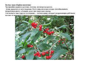 Волчье лыко (Daphne mezereum) Чрезвычайно ядовитое растение, поэтому, несмотр