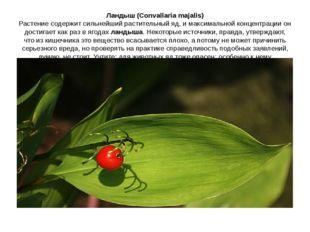 Ландыш (Convallaria majalis) Растение содержит сильнейший растительный яд, и