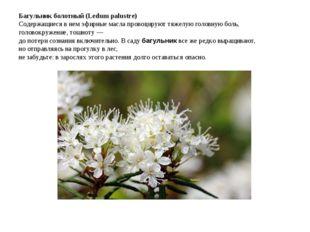 Багульник болотный (Ledum palustre) Содержащиеся в нем эфирные масла провоц