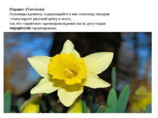 Нарцисс (Narcissus) Луковицы ядовиты; содержащийся в них алкалоид ликорин сти