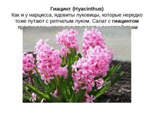 Гиацинт (Hyacinthus) Как и у нарцисса, ядовиты луковицы, которые нередко тоже