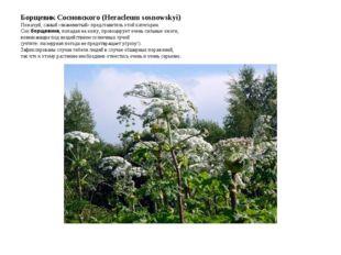 Борщевик Сосновского (Heracleum sosnowskyi) Пожалуй, самый «знаменитый» предс