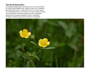 Лютик (Ranunculus) Сок вызывает раздражения глаз (многие из нас с детства пом