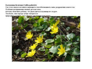 Калужница болотная (Caltha palustris) Сок этого милого весеннего первоцвета с