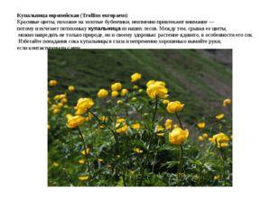 Купальница европейская (Trollius europaeus) Красивые цветы, похожие на золо
