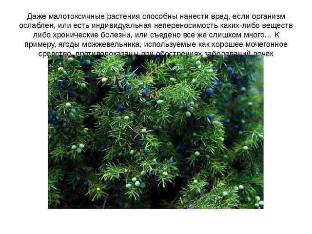 Даже малотоксичные растения способны нанести вред, если организм ослаблен, ил...