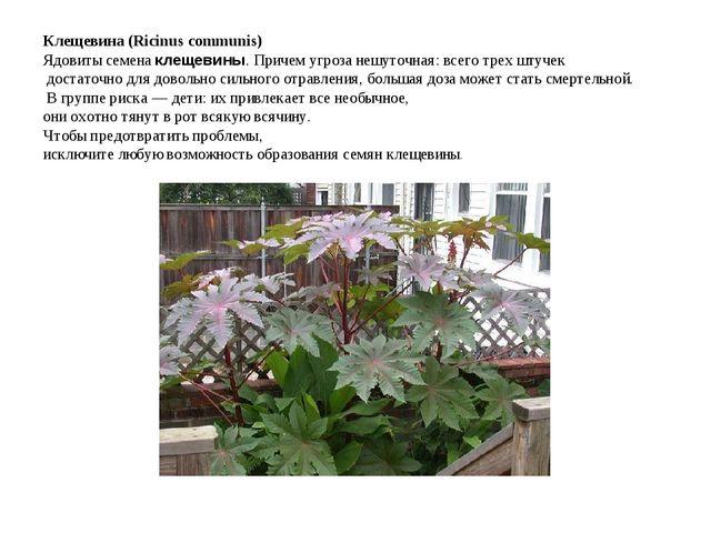 Клещевина (Ricinus communis) Ядовиты семенаклещевины. Причем угроза нешуточн...
