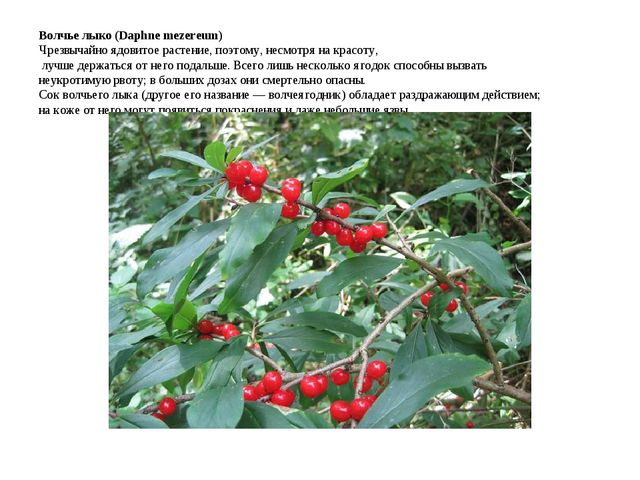 Волчье лыко (Daphne mezereum) Чрезвычайно ядовитое растение, поэтому, несмотр...