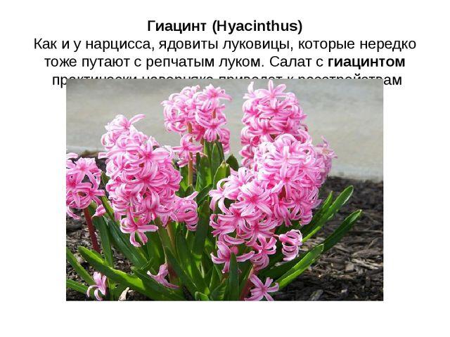 Гиацинт (Hyacinthus) Как и у нарцисса, ядовиты луковицы, которые нередко тоже...