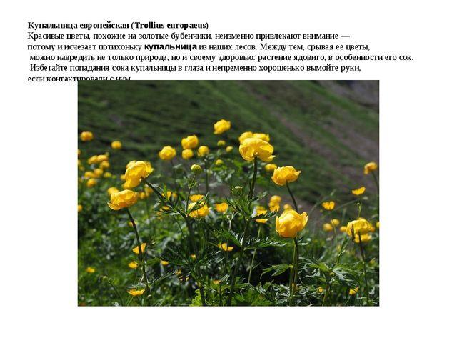 Купальница европейская (Trollius europaeus) Красивые цветы, похожие на золо...