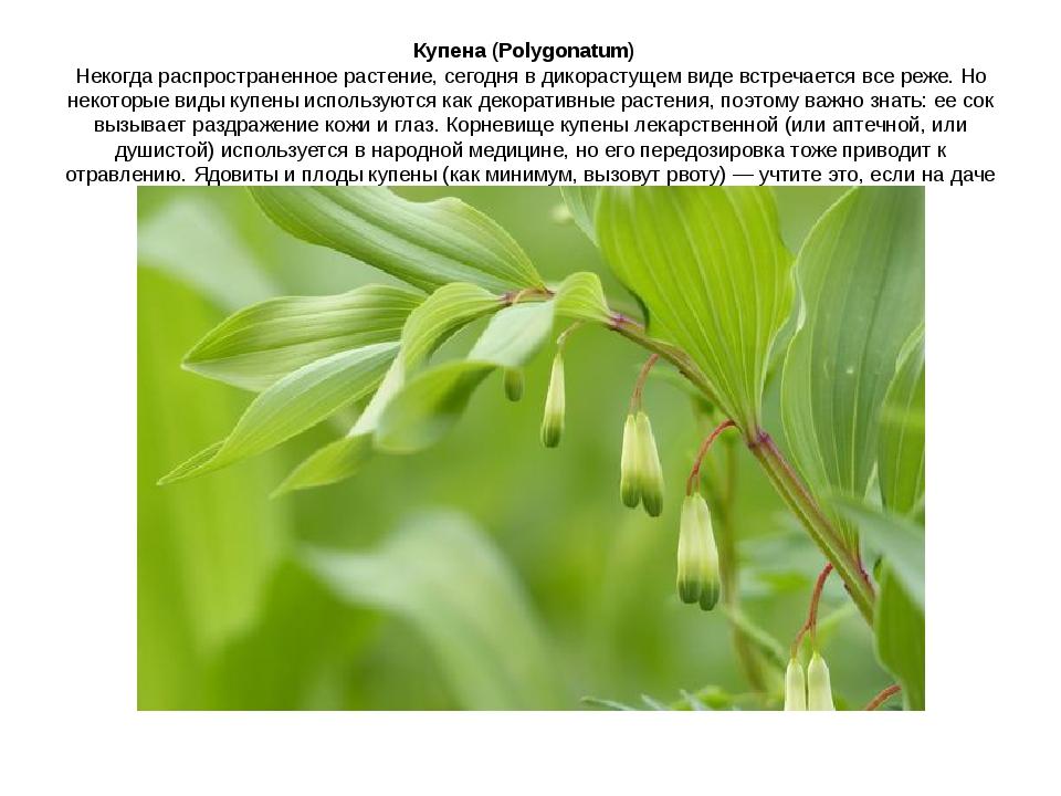 Купена (Polygonatum) Некогда распространенное растение, сегодня в дикорасту...