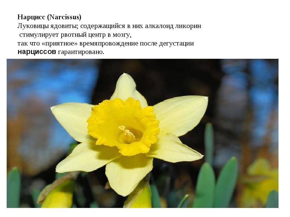 Нарцисс (Narcissus) Луковицы ядовиты; содержащийся в них алкалоид ликорин сти...