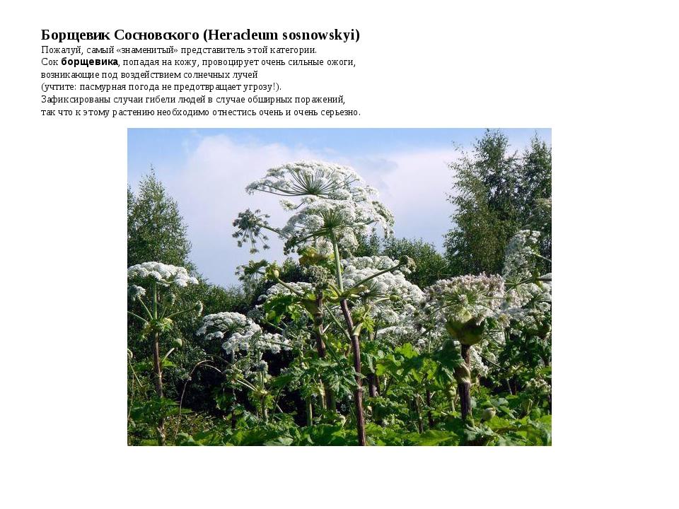 Борщевик Сосновского (Heracleum sosnowskyi) Пожалуй, самый «знаменитый» предс...